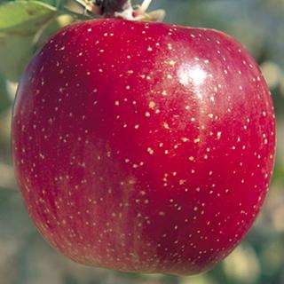 【江刺りんご&JA全農いわて】2020りんごご予約会